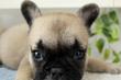 フレンチ・ブルドッグ【特選犬】ー募集終了ーのサムネイル
