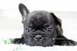 フレンチブルドッグ【特選犬】ー募集終了ーのサムネイル