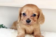 カニヘンダックス(ロングコート)【特選犬】-募集終了ー