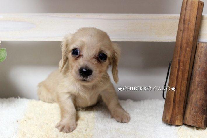 カニヘンダックス(ロングコート)【特選犬】-募集終了ーのサムネイル