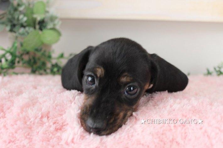 カニンヘンダックス(スムースコート)【特選犬】ー募集終了ーのサムネイル
